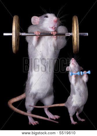 Rat Bodybuillders