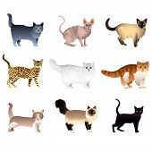 pic of siamese  - Popular purebred cats isolated on white colorful vector collection - JPG