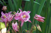 Summer Flower, Columbine.