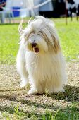 stock photo of herding dog  - A young happy beautiful white fawn Bearded Collie standing on the grass - JPG