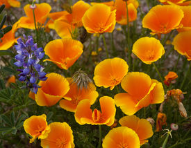 image of lumpia  - group of California poppies with a purple lumpia growing in the side  - JPG