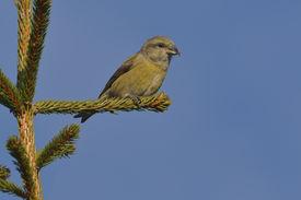 picture of crossbill  - Crossbill in natural habitat  - JPG