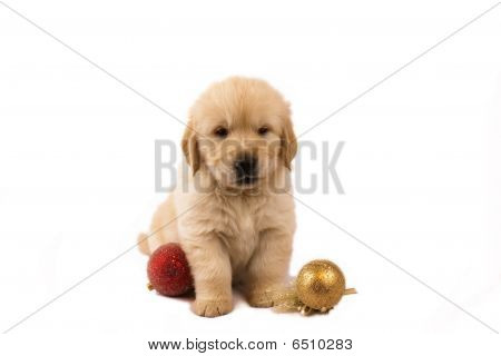 Golden Retriever Puppy Isolated On White With Christmas Toys