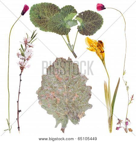Set Of Wild Flowers Pressed