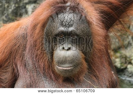 Bornean Orangutan ( Pongo pygmaeus )