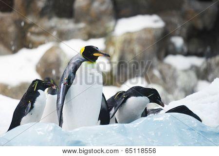 Emperor penguins on rocks near sea