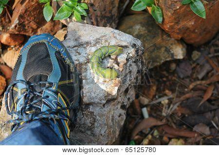 Big Green worm on rock