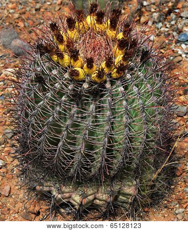 Barrel or hedgehog cactus