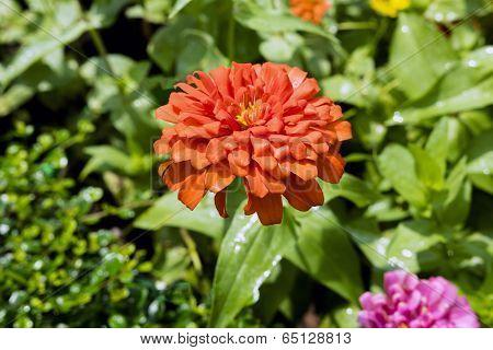 Orange Dahlia.