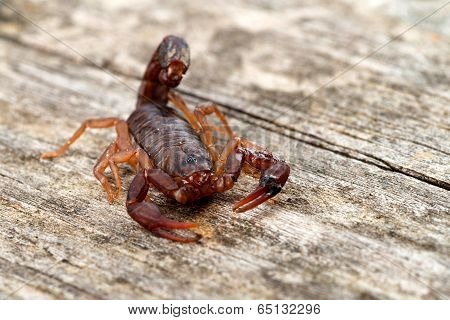 Close Up Macro Image Of Devil Scorpion (vaejovis Carolinianus) Native To The Southeastern United Sta