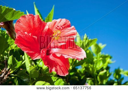 Beautiful View Of Red Hibiscus Flower