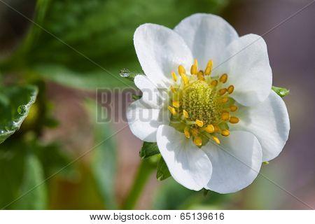 Flower Of Strawberry