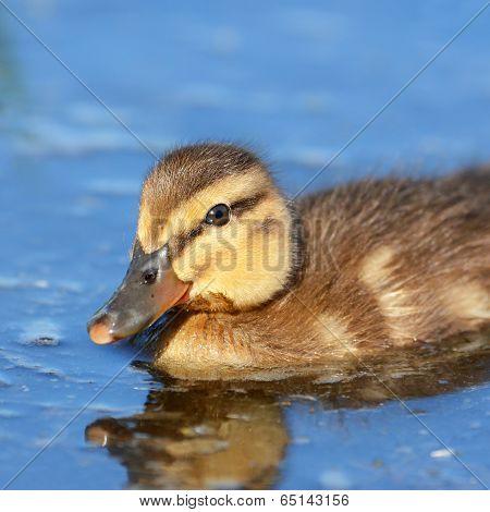 Mallard Duckling Swimming in a pond