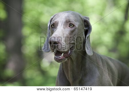 Shorthaired Weimaraner Dog