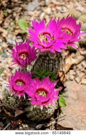 Echinocereus Catcus Flower