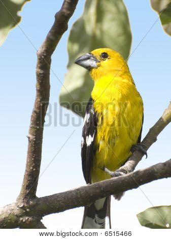 Southern_yellow_grosbeak