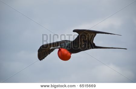 Flying_frigatebird
