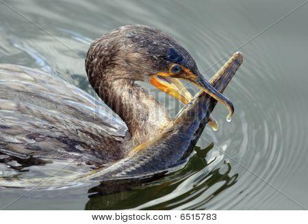 Cormorant With Alligator Gar