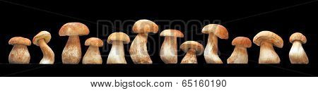 Mushroom family, Cep (Boletus edulis) - king of pore fungi