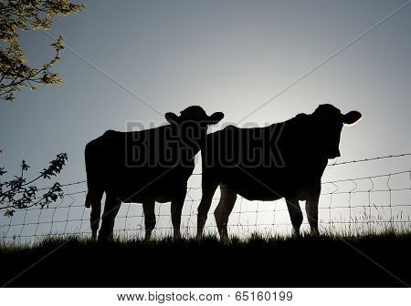 silhouetted cows