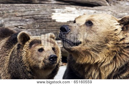 Brown Bears (ursus Arctos Arctos)