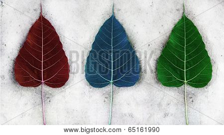 Red Green Blue Bodhi Leaf On The Cement Ground