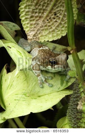 Amazon Milk Frog - Phrynohyas Resinifictrix