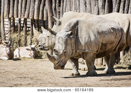 White Rhinoceros And Addax In Captivity
