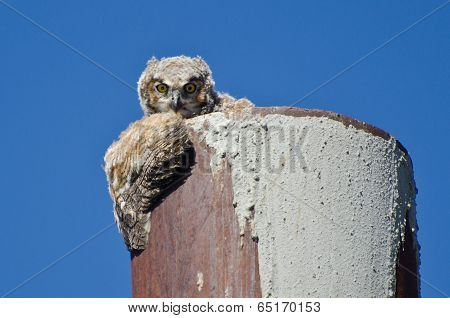 Young Owlet Making Eye Contact