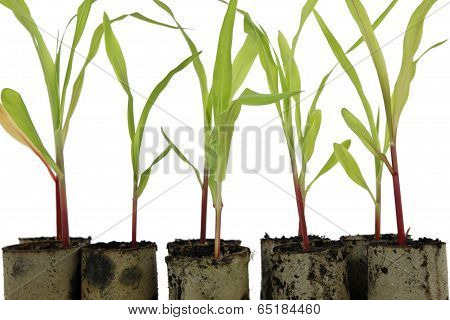Sweet Corn Cultivation