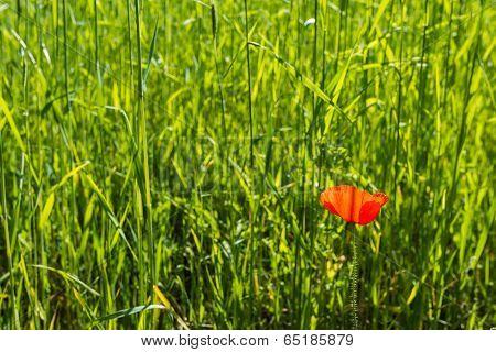 Red Flowering Poppy In Corn Field