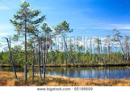 Karelian Swamp With Lake In Evergreen Woods