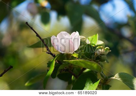 Pale Pink Flower Quince On Branch