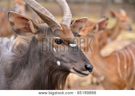 Close Up Of Female And Male Nyala Head