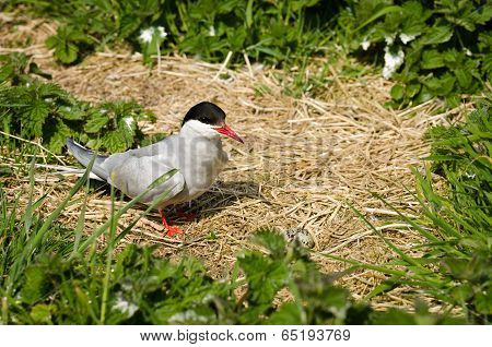 Arctic Tern With Egg In Nest