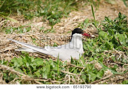 Arctic Tern On Nest