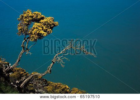Gorse Growing On Cliffside