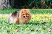 picture of defecate  - Pomeranian dog defecating on green grass in the garden - JPG