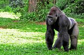 foto of gorilla  - Adult male gorillas with a saddle-shaped patch of silver hair on their back