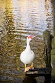 foto of barbary duck  - One white muscovy duck (Cairina moschata) and mirroring water. Natural theme.