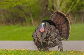 foto of wild turkey  - Strutting male wild turkey displaying in the spring mating season - JPG