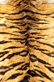 picture of tigress  - black stripes tiger pelt real fur texture on animal - JPG