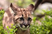 foto of mountain lion  - Puma concolor called mountain lion in forest