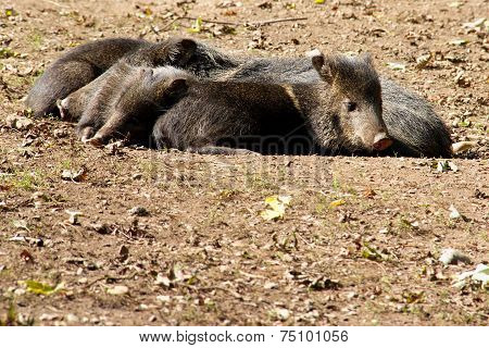 Relaxing wild pigs
