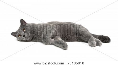 Cat (age 11 Months) Lying On A White Background