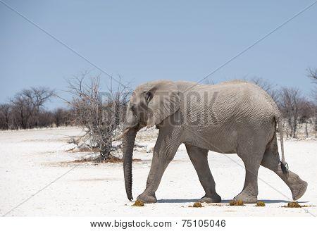 Isolated Elephant walking on dry pan in etosha