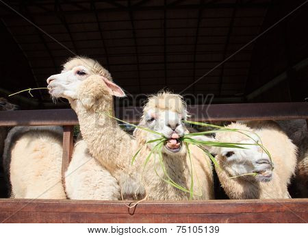 Close Up Face Of Llama Alpacas Eating Ruzi Grass Show Lower Tooth In Mouth