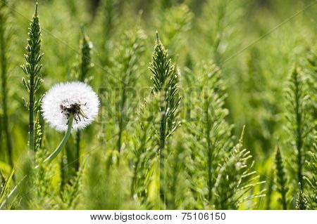 single Dandelion among green plants