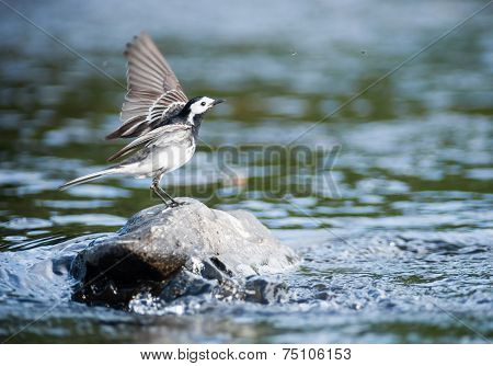 little bird landing on a river rock