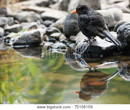 cute little blackbird reflection pond